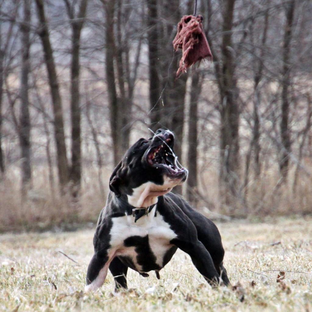 Black & White English Bulldogge Playing Catch