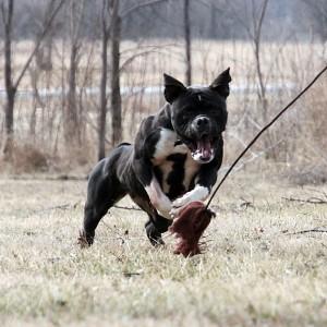 Black & White English Bulldogge Playing Outside