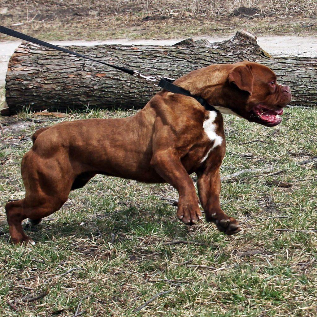 Brown Olde English Bulldogge Outdoors