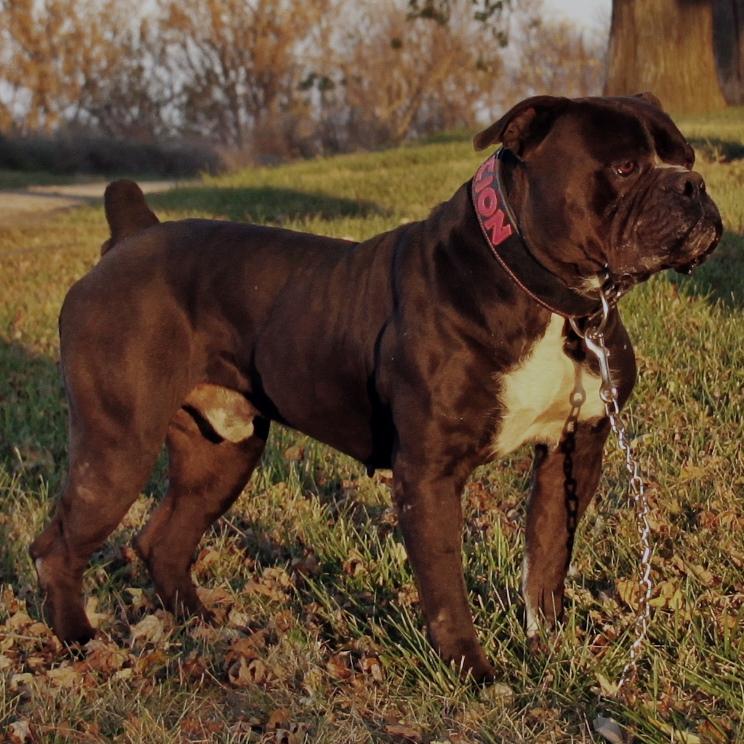 Muscular bulldog