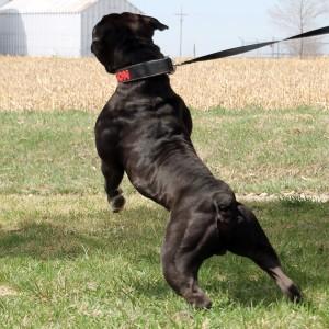 rear shot standing big Black Olde English Bulldogge