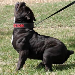 Black Bulldogge side shot