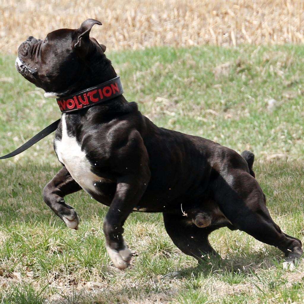 Beautiful Black Olde English Bulldogge- Evolution's Mambo