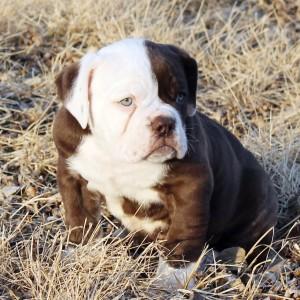 Brown & White Olde English Bulldogge Puppy