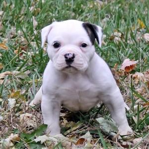 White English Bulldogge Puppy Outdoors