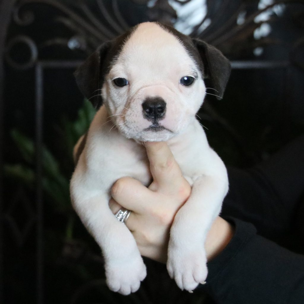white bulldogge for sale