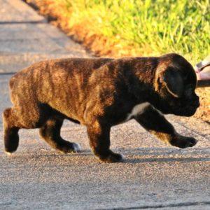 side shot brindle pup