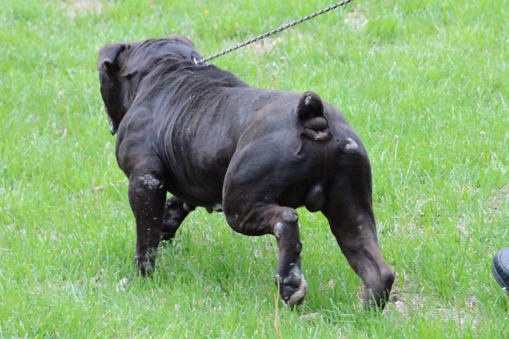 Black Olde English Bulldogge rear