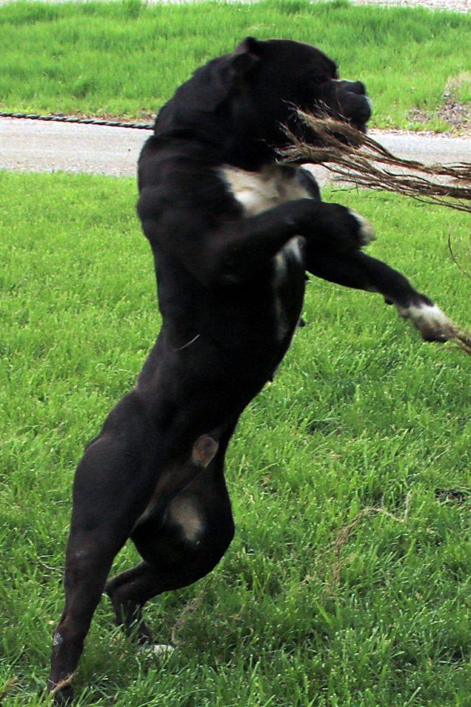 Standing Olde English Bulldogge black