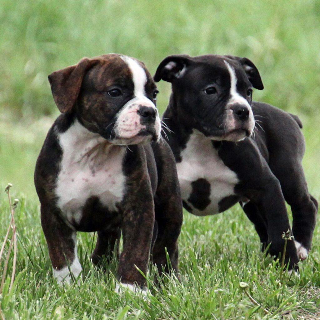 Olde English Bulldogge brothers