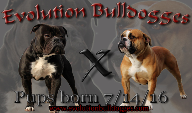 bulldogge breeding banner