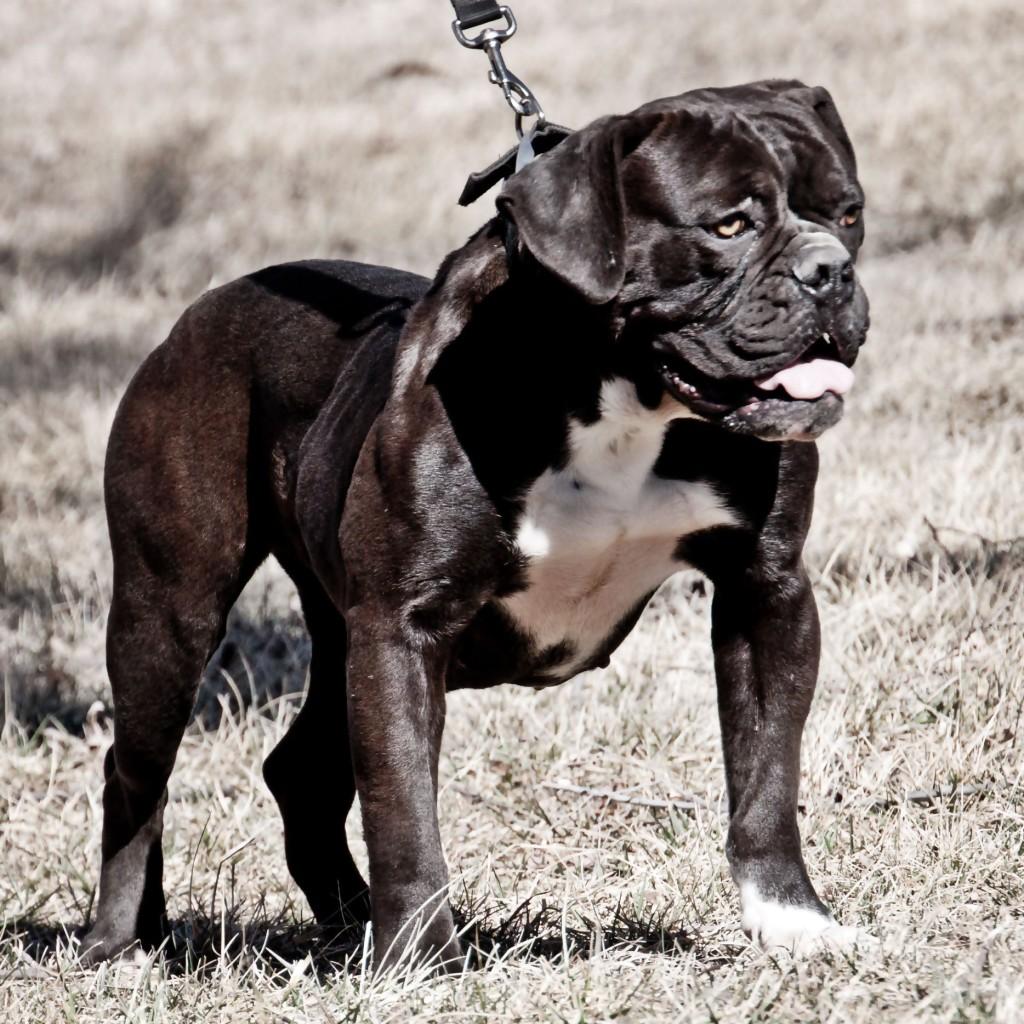 black bulldog stacked wide