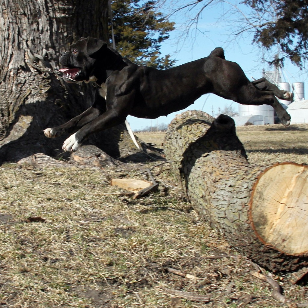 Bulldog jumping
