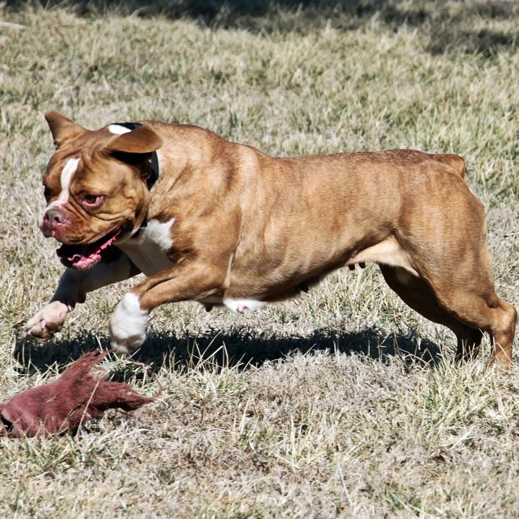 olde english bulldogge playing