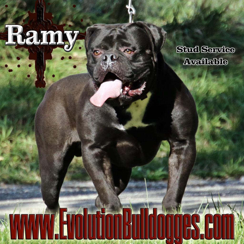 Huge Black Bulldog