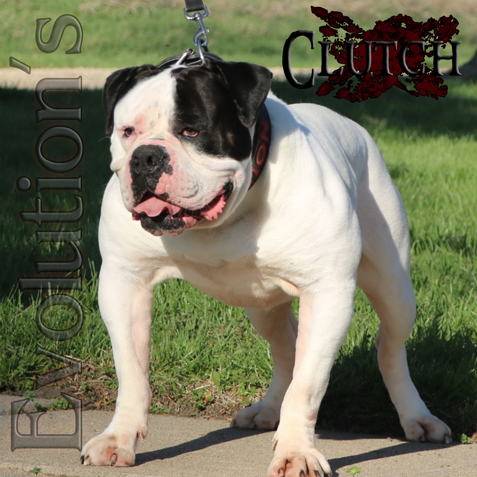 White and black Olde English Bulldogge stud