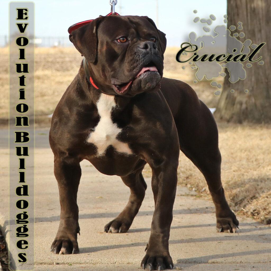 Evolution's Crucial - Olde English Bulldogge bitch
