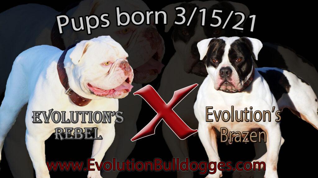 Rebel x Brazen breeding