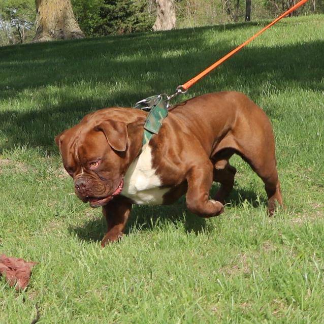 Bulldogge with flirt pole